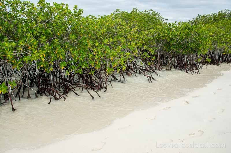 fauna y flora de galapagos manglares