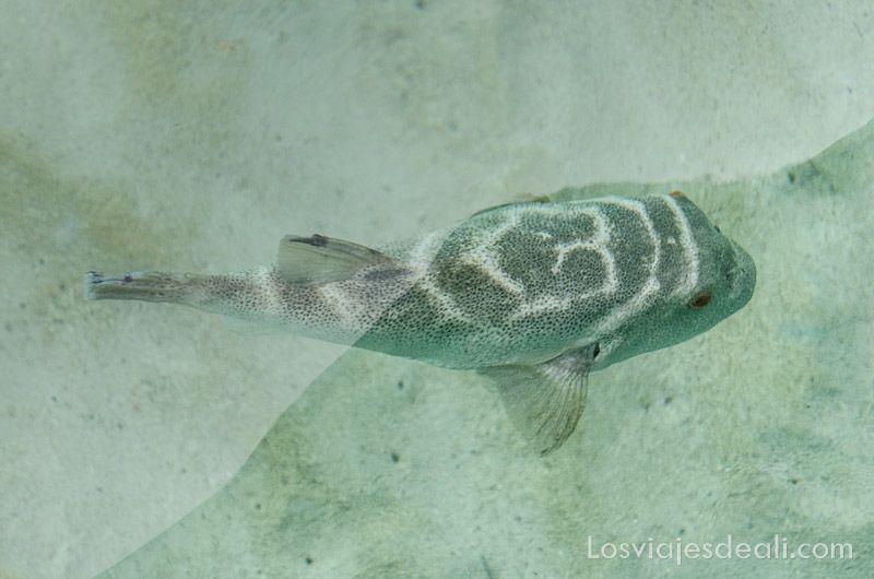 pez globo nadando en agua transparente en la isla santa fee
