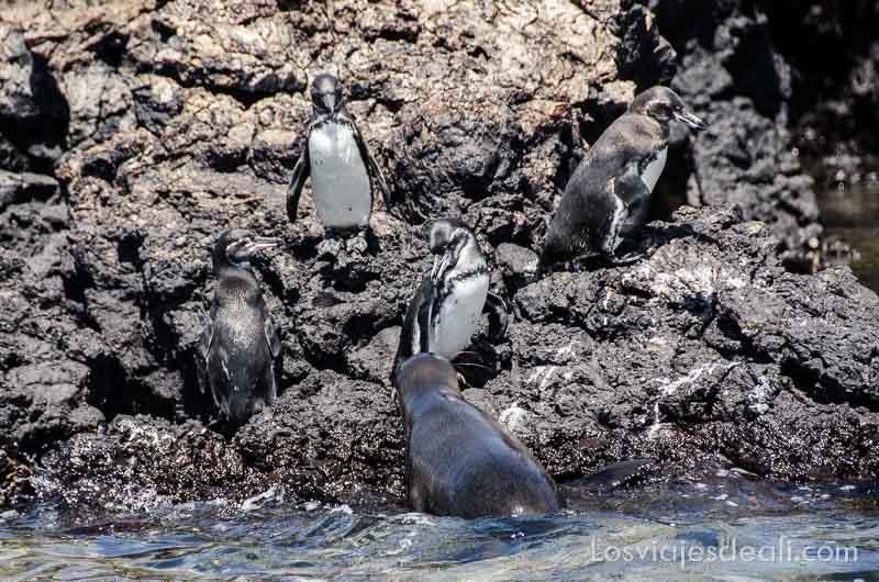 fauna y flora de galapagos pinguinos