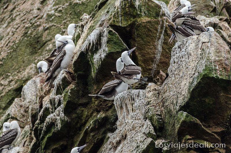 fragatas en las rocas. Tienen cabeza y pecho de pluma blanca y alas marrones con unas rayitas