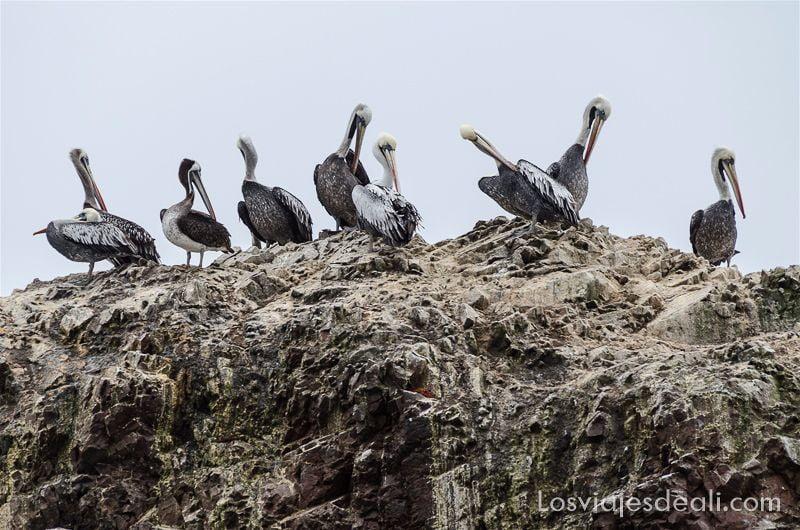 pelícanos en islas ballestas