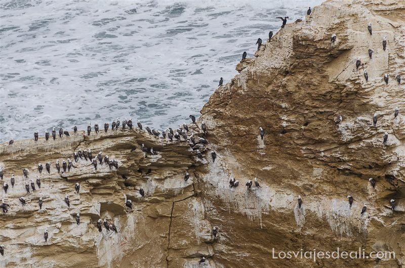aves en la costa de paracas