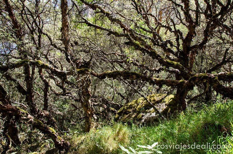 árboles con troncos cubiertos de musgo y ramas retorcidas