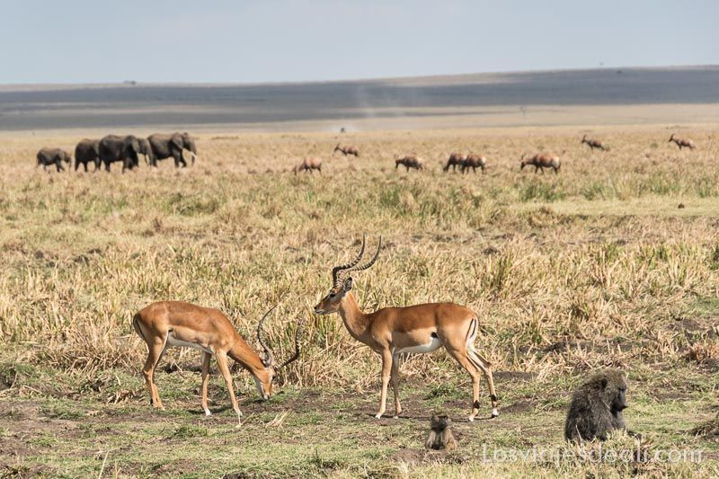 dos días en masai mara impalas