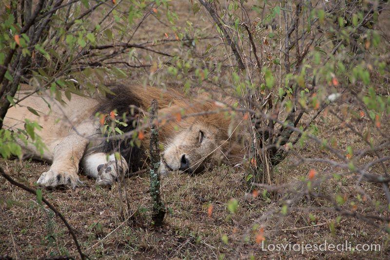 dos días en masai mara rey león