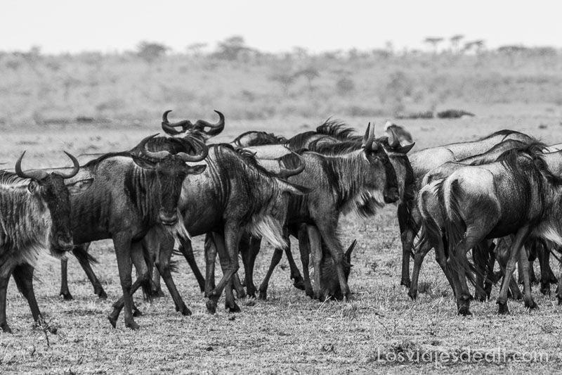 dos días en masai mara ñues