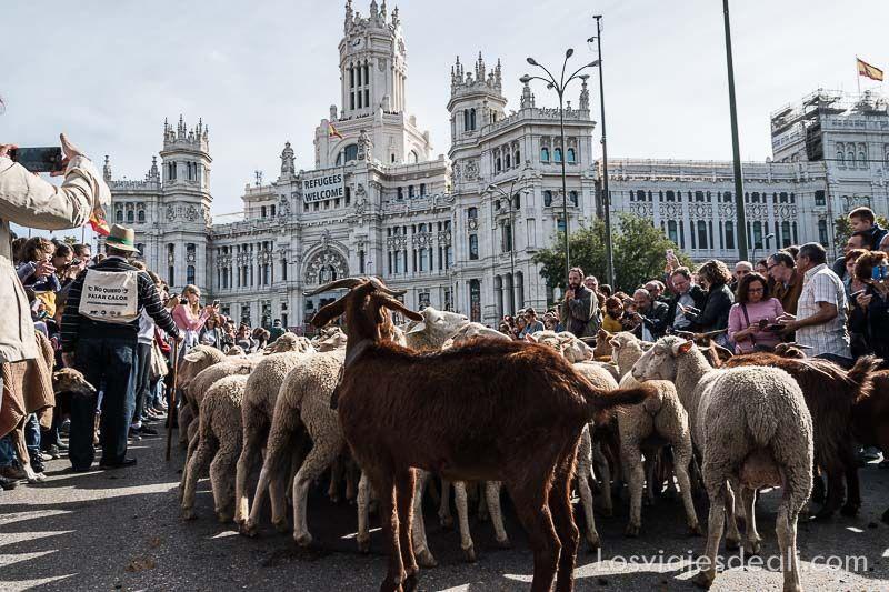 fiesta de la trashumancia madrid ovejas en ayuntamiento