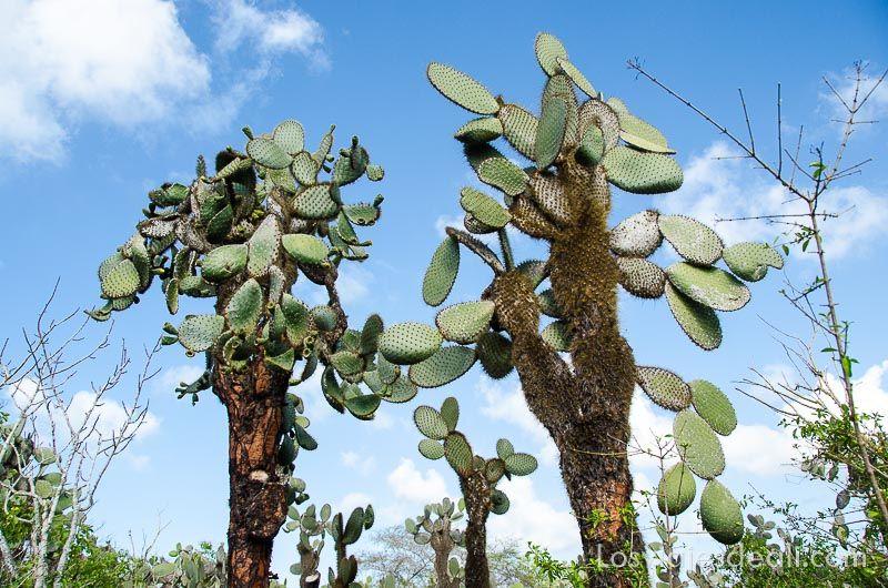 isla santa cruz cactus gigantes
