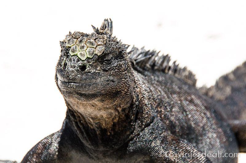 isla santa cruz iguana en tortuga bay