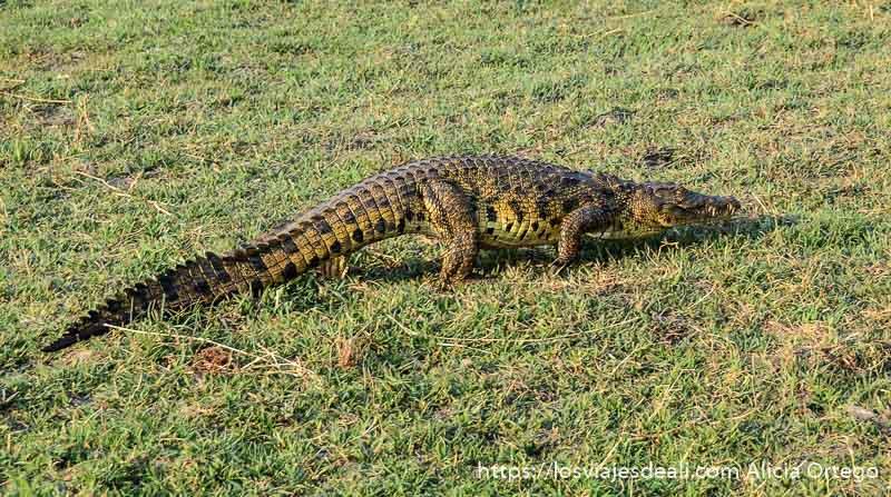 cocodrilo en parque nacional de chobe