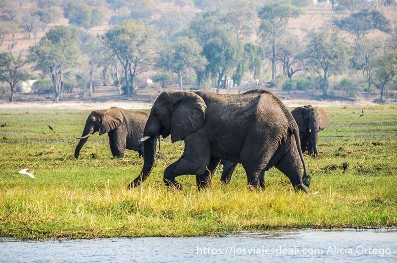 elefantes en parque nacional de chobe