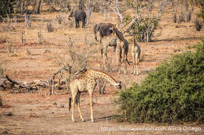 jirafas y elefantes comiendo en parque nacional de chobe Botswana