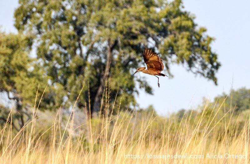 pájaro martillo volando en el delta del okavango