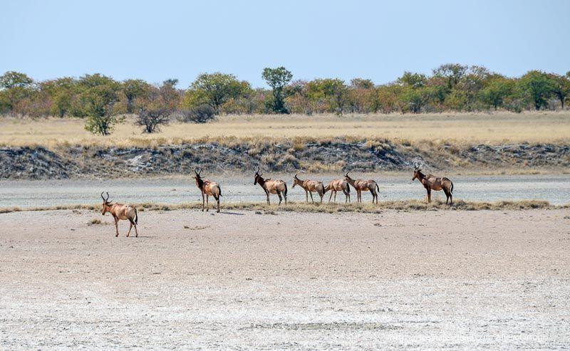 antílopes en Etosha