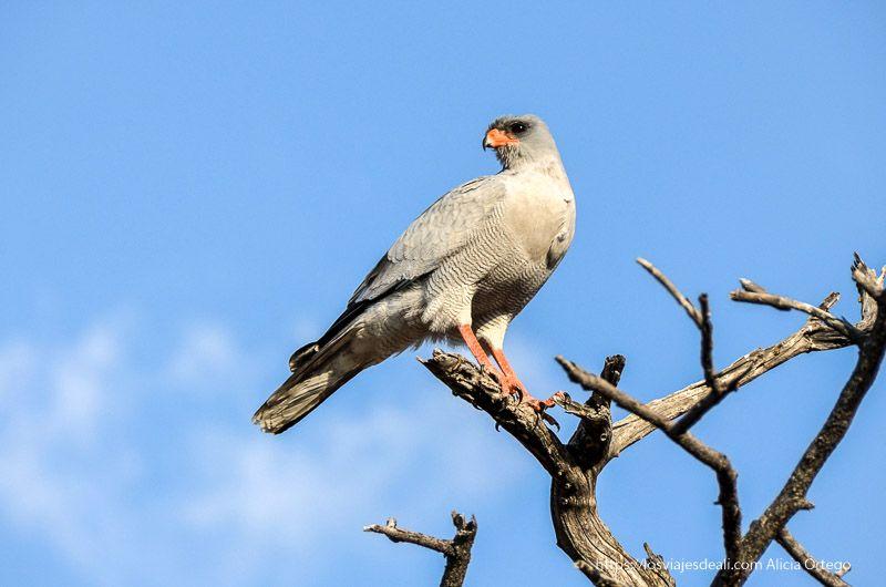 águila en Etosha