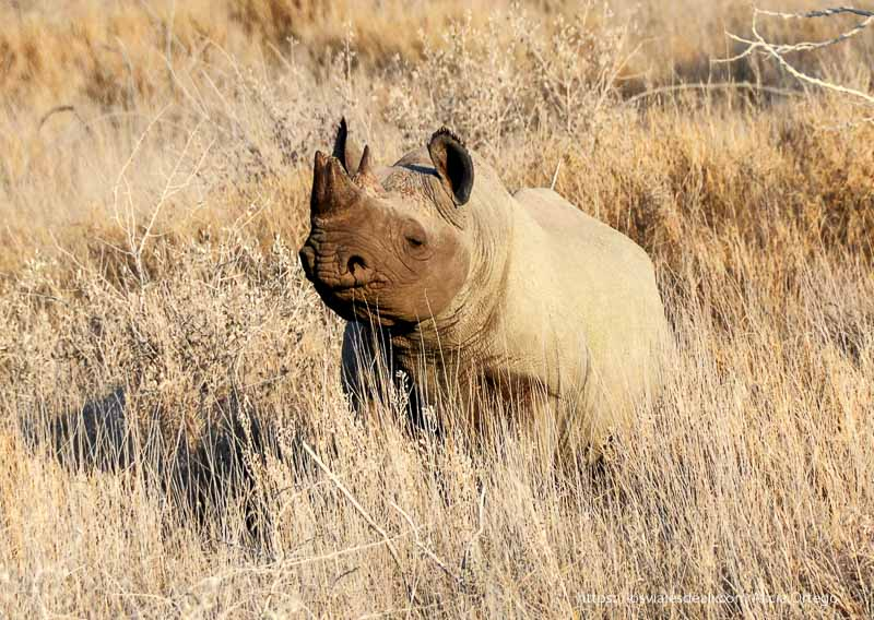 rinoceronte en Etosha Ruta del Okavango