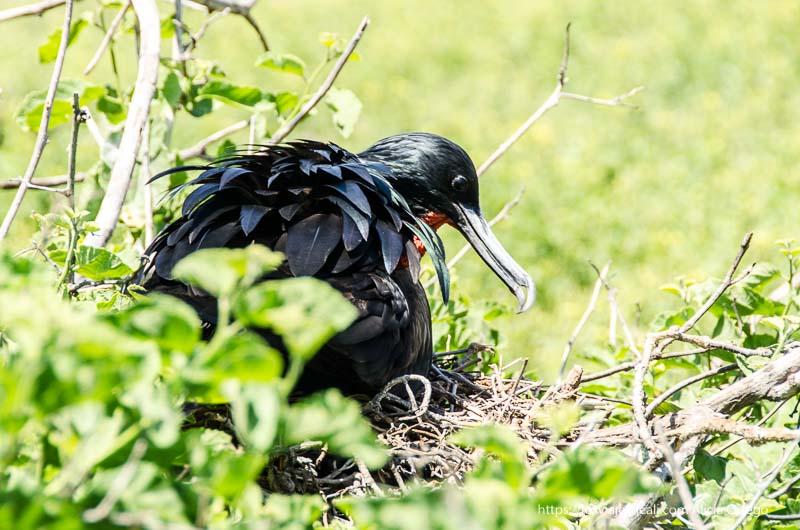 tijereta en su nido excursión a isla seymour