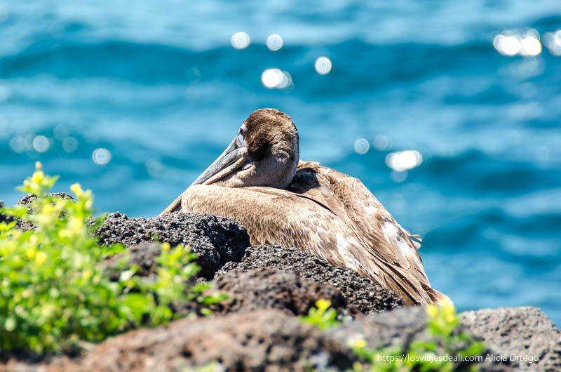 pelícano mirando el mar en excursión a isla seymour