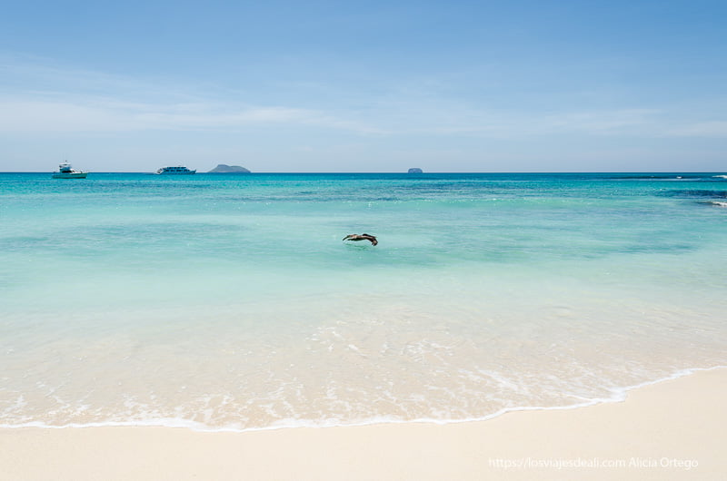 aguas de playas bachas con pelícano pescando excursión a isla seymour