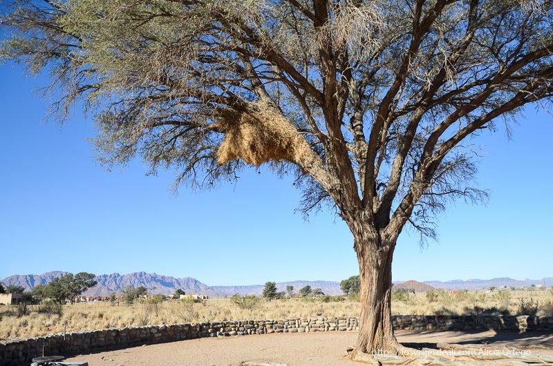 acacia con nido de tejedores en desierto de namib