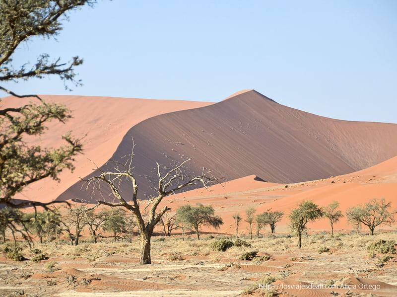 grandes dunas y pequeños árboles de camino al Deadvlei de namibia