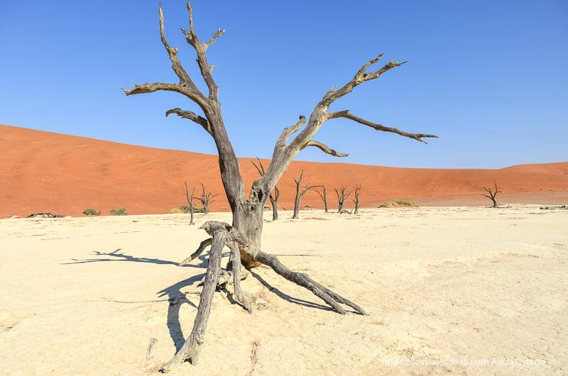 árbol seco con duna naranja y cielo azul de fondo en Deadvlei Namibia
