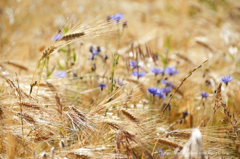 espigas de trigo amarillas con flores malvas