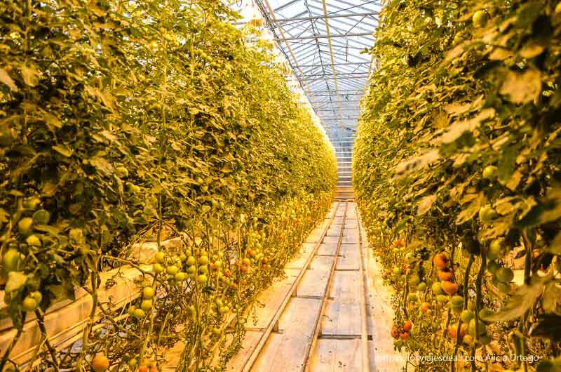 interior de invernadero lleno de plantas de tomates