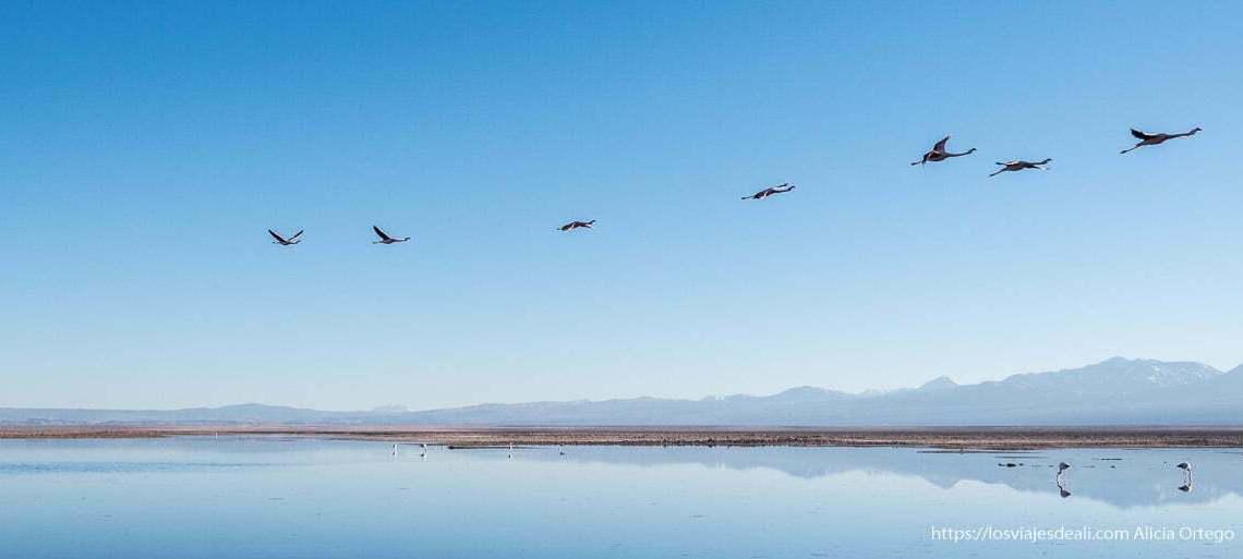 siete flamencos volando en línea en el salar de Atacama la crisis de los 40