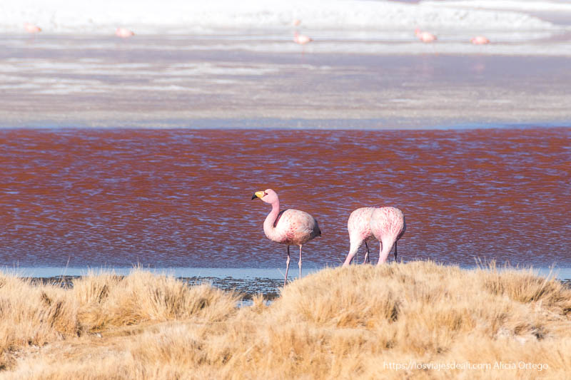 flamenco en la laguna colorada viajar al desierto de atacama