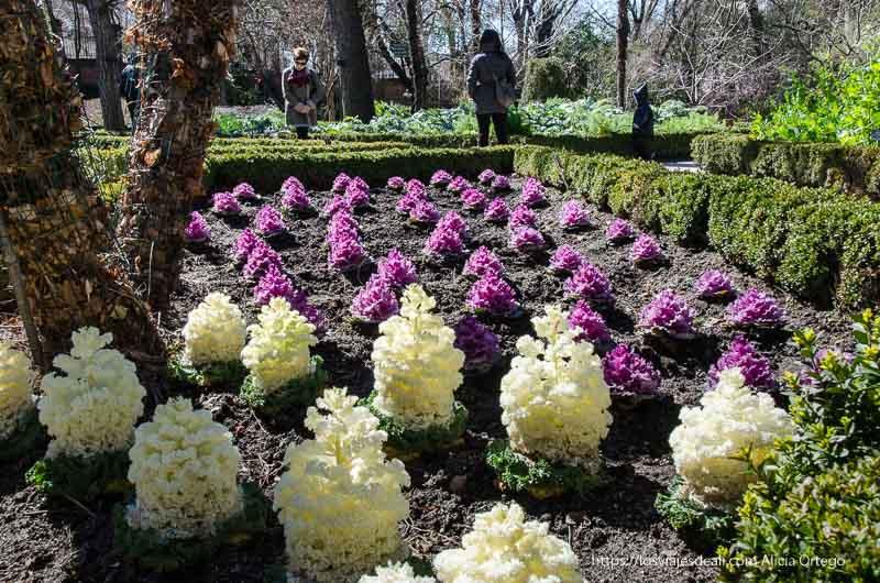 huerto con una especie de coliflores blancas y moradas real Jardín Botánico de Madrid