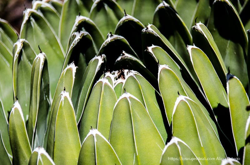 cactus con hojas verdes muy anchas y una espina en la punta real Jardín Botánico de Madrid