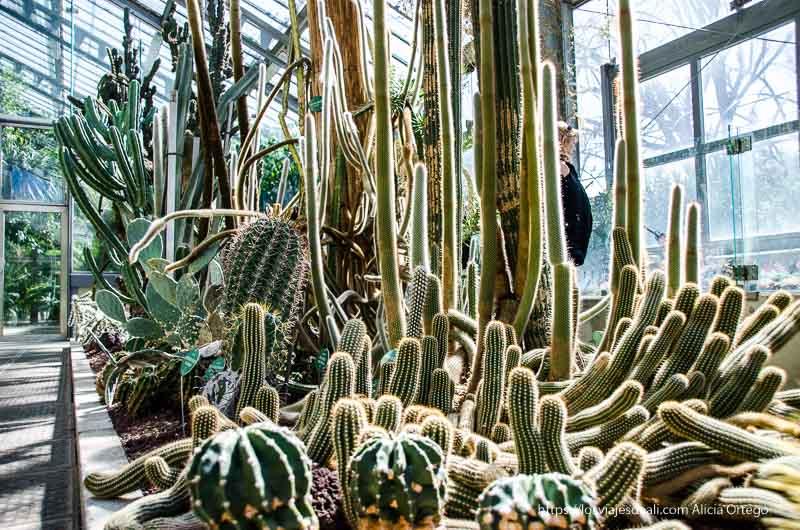invernadero lleno de cactus de varios metros de altura real Jardín Botánico de Madrid