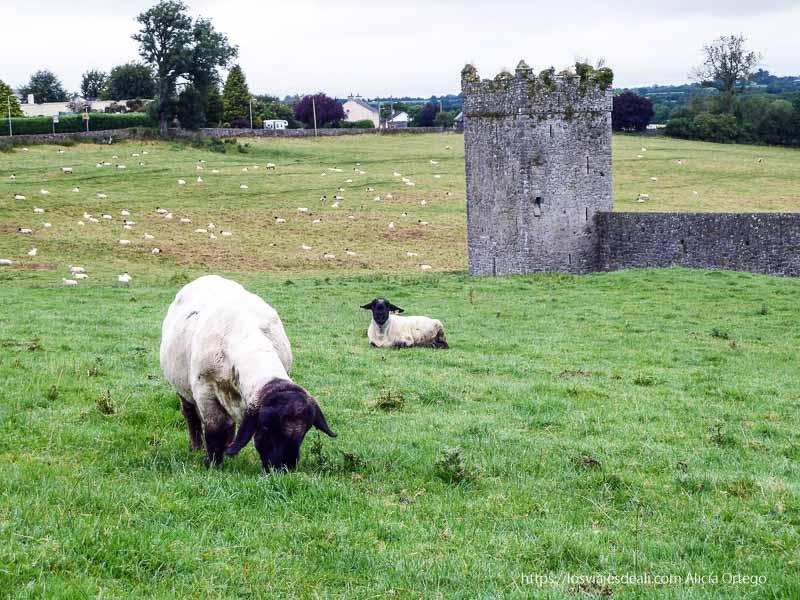 ovejas junto a Kells castillos en irlanda