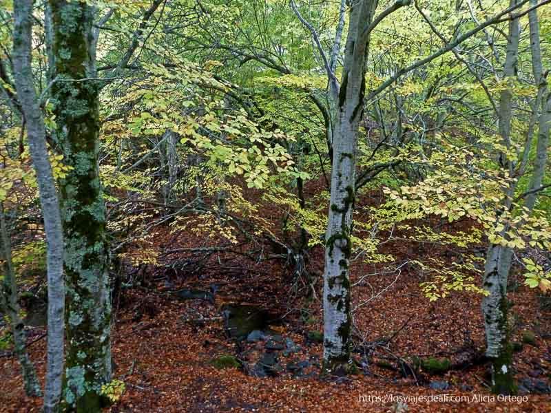 hayas con hojas amarillas y suelo lleno de hojas secas hayedo de tejera negra