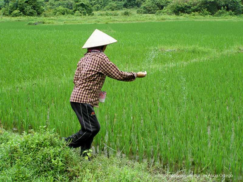 mujer tirando arroz en un campo la bahía de ha long