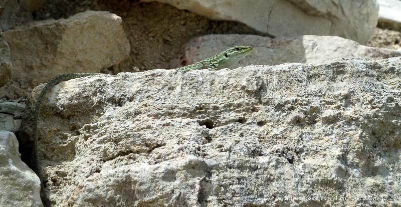 lagartija verde al sol en el yacimiento de segesta