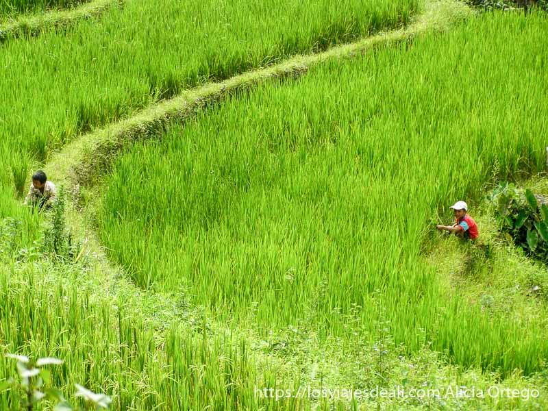 campo de arroz con dos niños jugando al escondite en el norte de vietnam