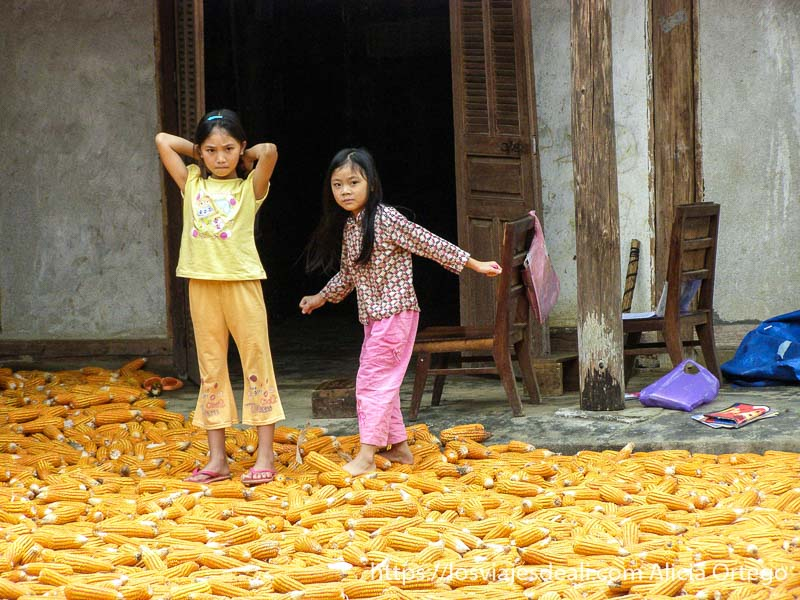 niñas pisando mazorcas de maíz en el norte de vietnam