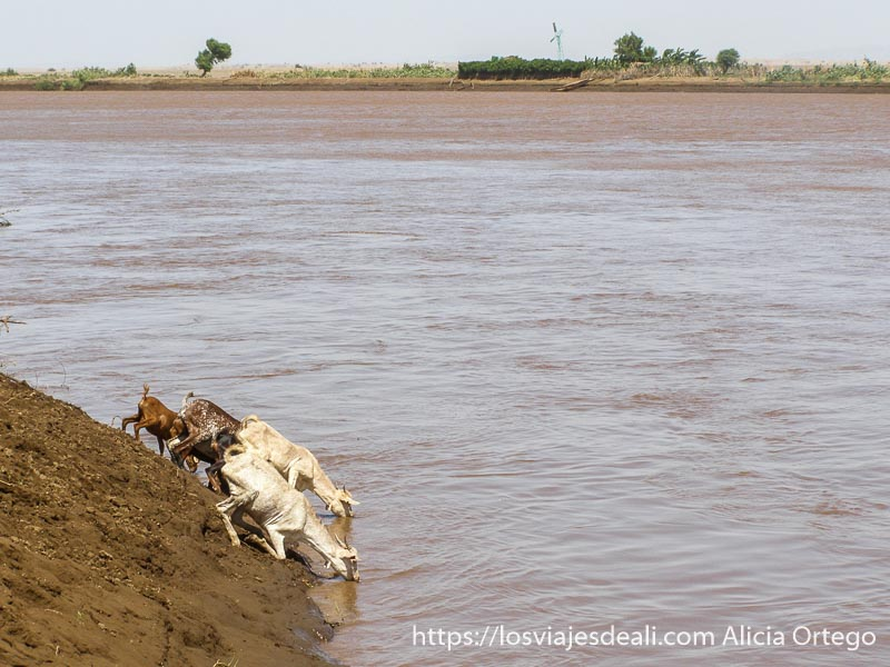cabras bebiendo en el río omo con las patas delanteras flexionadas por la pendiente pronunciada de la orilla
