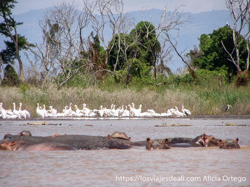 hipopótamos en primer plano y pelícanos al fondo en el lago chamo