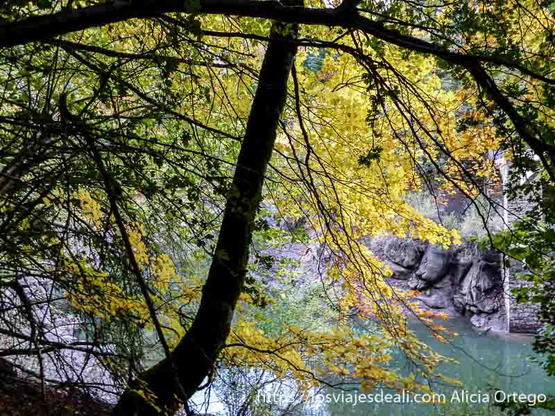 ramas con hojas amarillas dirigidas al agua en selva de irati