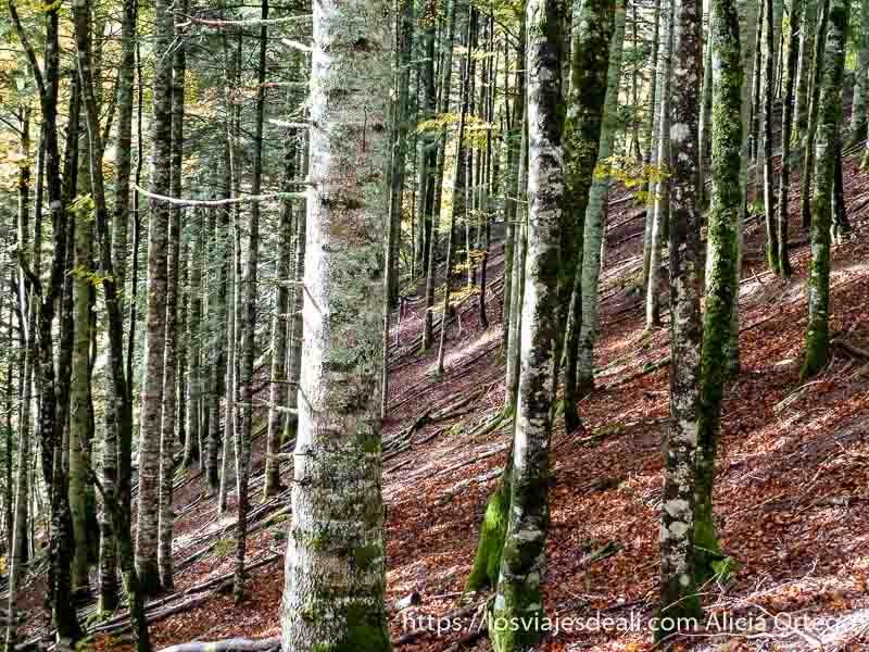 ladera empinada llena de hojas marrones y troncos de haya en selva de irati