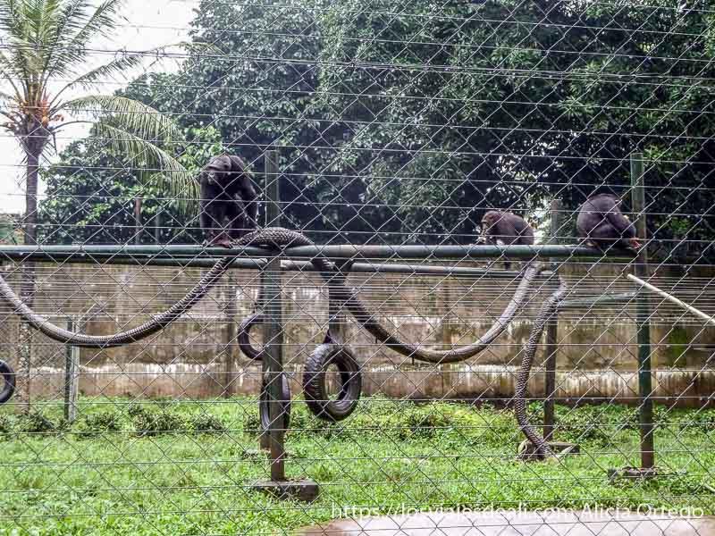 chimpancés en jaula grande en Limbe