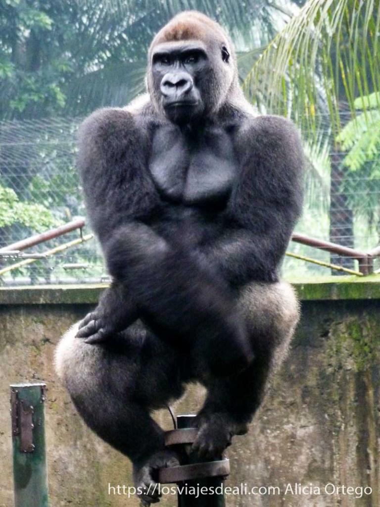 gorila sentado mirándonos en limbe