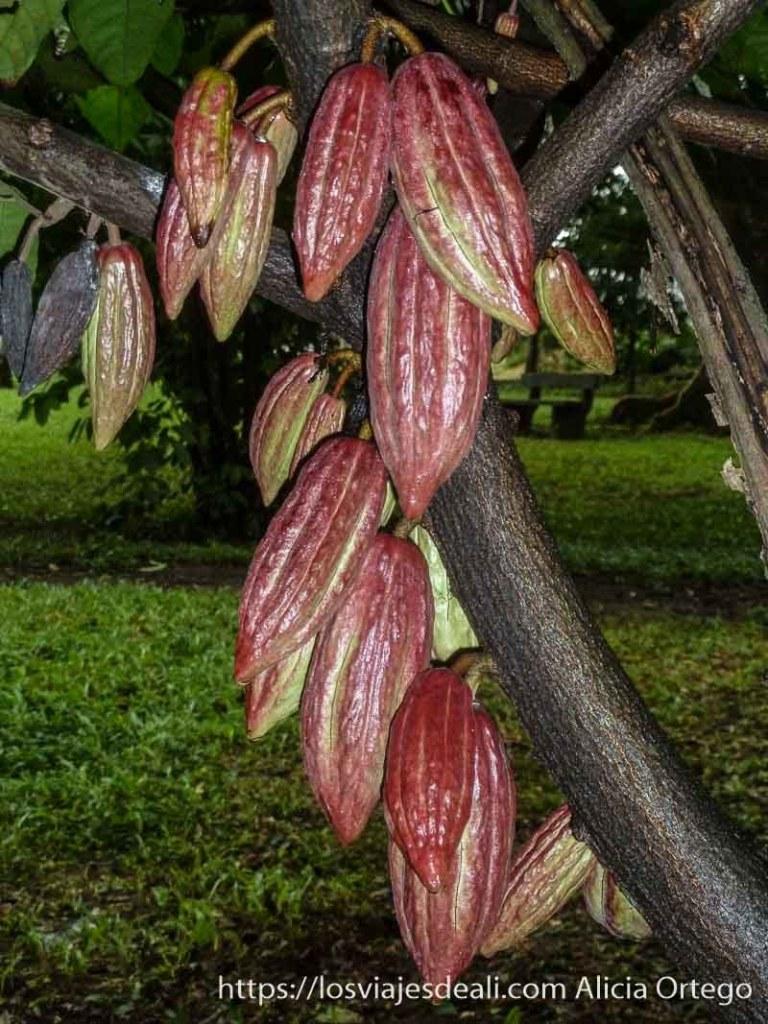 fruto del cacao en árbol de color rojo en limbe