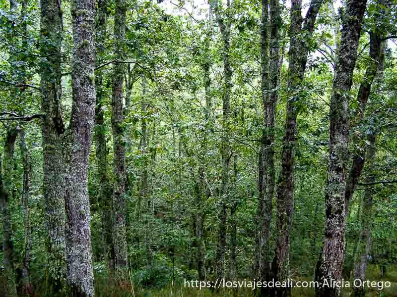 bosque de encinas altas muy verdes con troncos envueltos en musgos verdes en el parque natural saja besaya