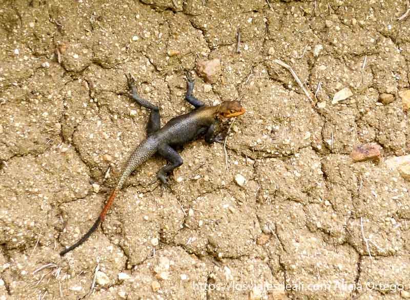 gran lagarto de cabeza y cola naranjas y cuerpo gris trekking en el monte ziver
