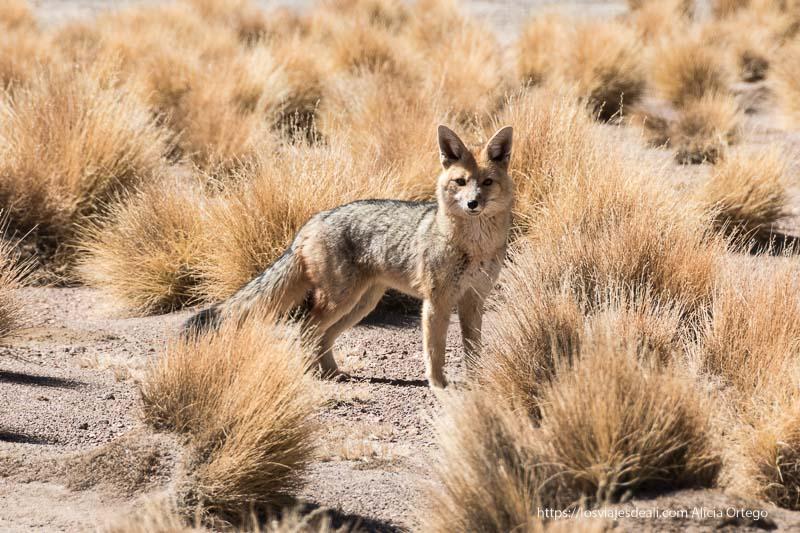 zorro andino entre matas de ichu en bolivia