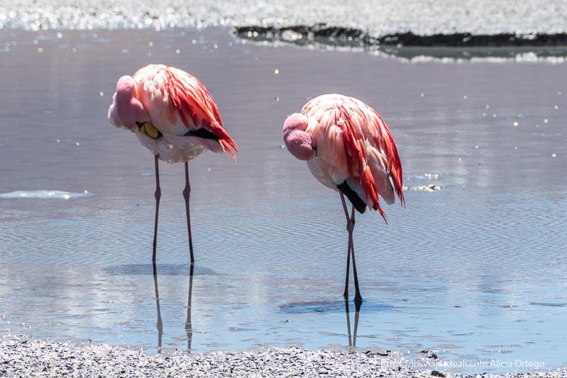 dos flamencos rascándose con el pico las plumas del torso en la laguna hedionda de bolivia